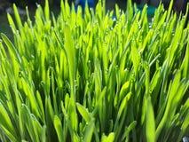 Wheatgrass e orvalho - close up Imagens de Stock
