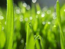 Wheatgrass e orvalho - close up Imagens de Stock Royalty Free