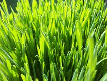 Wheatgrass e orvalho - close up Foto de Stock Royalty Free