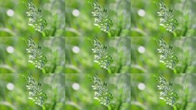 Wheatgrass fecha-se acima no fundo verde borrado no vento filme
