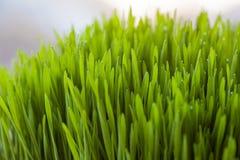 Wheatgrass frais pour Juicing Images stock