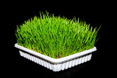 Wheatgrass Royalty Free Stock Photos