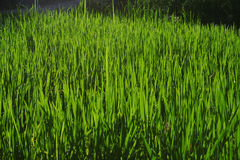 Wheatgrass and grain farming Royalty Free Stock Photo