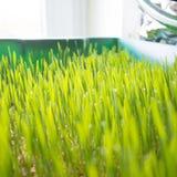 Wheatgrass growing Royalty Free Stock Photos