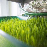 Wheatgrass growing Stock Images
