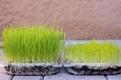 Wheatgrass growing stages stock image