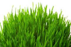 Wheatgrass ha isolato Immagine Stock Libera da Diritti