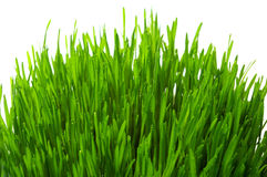 Wheatgrass isolou-se Imagem de Stock Royalty Free