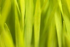Wheatgrass närbild Fotografering för Bildbyråer