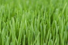 Wheatgrass in nursery stock photo