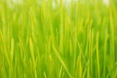 Wheatgrass oben Abschluss Stockfotos