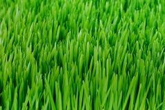 Wheatgrass organico Fotografia Stock