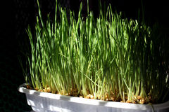 Wheatgrass organique Photographie stock libre de droits