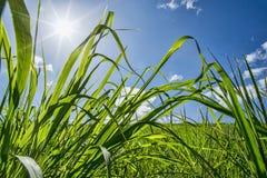 Wheatgrass pole Zdjęcia Royalty Free