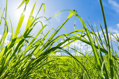 Wheatgrass pole Obrazy Royalty Free
