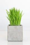 Wheatgrass que crece en pote concreto Imagen de archivo libre de regalías