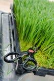 Wheatgrass scherpe schaar Stock Foto's