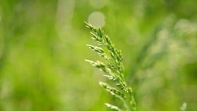 Wheatgrass slut upp på suddig grön bakgrund lager videofilmer