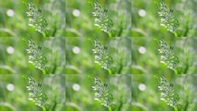 Wheatgrass stänger sig upp på suddig grön bakgrund i vinden arkivfilmer