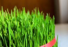 Wheatgrass stock image