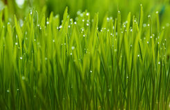 wheatgrass und Tau Stockfotos