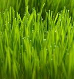 wheatgrass und Tau Stockfotografie