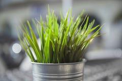 Wheatgrass verdes frescos que crescem no potenciômetro concreto Imagem de Stock