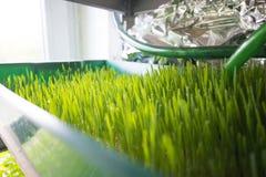 Wheatgrass Wachsen Stockfoto