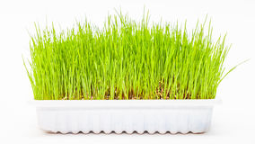 Wheatgrass wheat grass. Fresh green Wheatgrass / wheat grass growing in white tray Stock Image