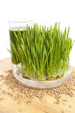 Wheatgrass on wood Royalty Free Stock Photography