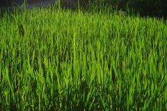 Wheatgrass y cultivo del grano Foto de archivo libre de regalías