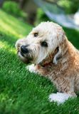 Wheaton terrier in the lawn. An adorable Wheaton terrier looks into the camera while lying outdoors on the lawn royalty free stock images