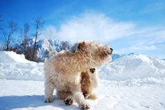 Wheaton Terrier scatching Royalty Free Stock Photography