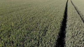 Wheats zdjęcie wideo