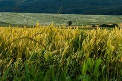 Wheats Stock Image