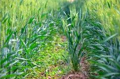 Wheats on the ridges Stock Photo
