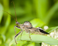 Wheel Bug. Closeup on Wheel Bug - Arilus cristatus Royalty Free Stock Photography
