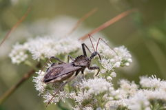 Wheel Bug, Arilus cristatus Royalty Free Stock Image