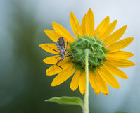 Wheel bug (Arilus cristatus) on sunflower Royalty Free Stock Photography