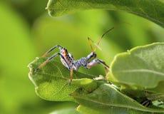 Wheel Bug Stock Image