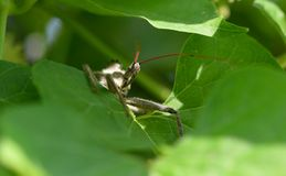 Wheel bug Royalty Free Stock Photography