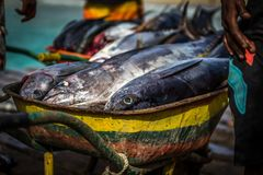 Wheel cart full of tuna on fish market on African wooden pier in Sal, Cabo Verde royalty free stock image