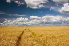 Wheel tracks in a field with grain, white clouds and blue sky. View on a sunny day royalty free stock photos