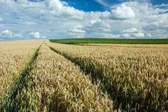 Technological path to the wheat field. Wheel tracks on a wheat field, horizon and white clouds in the blue sky royalty free stock photography
