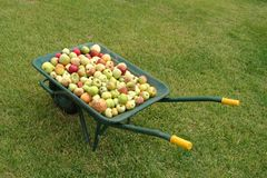 Wheelbarrow with apples on grass Stock Photography