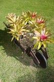 Wheelbarrow and bromelias Royalty Free Stock Photo