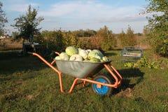 Wheelbarrow with cabbage. Harvest. Autumn harvest. Wheelbarrow full of cabbage plugs Stock Photos