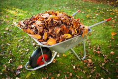 Wheelbarrow full of dried leaves Royalty Free Stock Photo