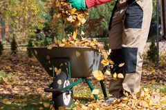 Wheelbarrow full of leaves Royalty Free Stock Image