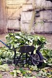 Wheelbarrow full of leaves green garden Outdoor royalty free stock images